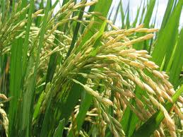 Rice plant and seeds