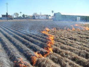 Burning tigernut grass at harvest.