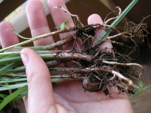 Tigernut or chufa plant with it roots and rhizomes.