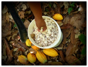 Cocoa plantation from Chuao. Photo of Fernando Carrizales.